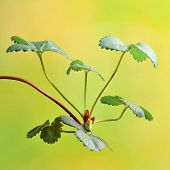 picture of strawberry plant  - Strawberry plants  Strawberry leaves  - JPG
