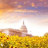 picture of capitol building  - Capitol building Washington DC yellow daisy flowers USA congress turf meadow US - JPG