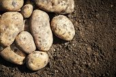 picture of potato-field  - fresh organic bio potatoes vegetable in the field on soil - JPG