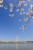 stock photo of washington monument  - Washington DC in Spring - Cherry Blossoms and Washington Monument  - JPG