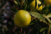 pic of orange-tree  - Fresh green oranges on tree - JPG