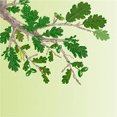 pic of acorn  - Oak branch with leaves and acorns spring background vector illustration - JPG