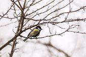 image of tit  - Great Tit  - JPG