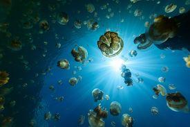 stock photo of jellyfish  - Underwater photo of endemic golden jellyfish in lake at Palau - JPG