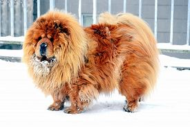 picture of chow-chow  - Chow Chow Dog Dina winter and white snow - JPG