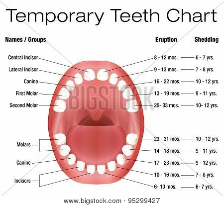 temporary teeth - names, groups, period of eruption and shedding of the  childrens teeth - three-dimensional vector illustration on white  background  poster