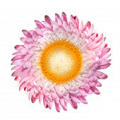 Blossoming Pink Strawflower, Helichrysum Bracteatum Isolated On White