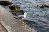 picture of sevastopol  - Herring gull stands on the pier on the blue sea background early morning on a summer day - JPG