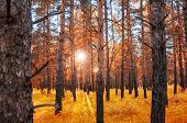pic of fantastic  - Autumn forest with sunbeams through the trees at sunset - JPG