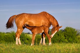 pic of colt  - Colt drink milk from mare in pasture - JPG