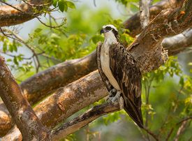 image of fish-eagle  - An Osprey or Fish Eagle perches in a tree in the Everglades National Park in south Florida - JPG