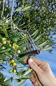 picture of olive trees  - harvesting olives in an olive grove in Catalonia - JPG