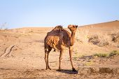 Arabian Camel, Also Known As Dromedary, Posing And Looking At The Camera In The Maranjab Desert At D poster