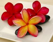 Tropical Frangipani on theraphy stone poster