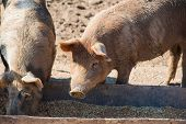 Domestic Pigs On A Farm poster