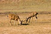 stock photo of blacktail  - pair of California Blacktail bucks eating - JPG