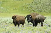 male & female North American bison in Yellowstone National Park