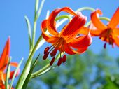 foto of asiatic lily  - lily  - JPG