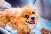 Pomeranian Dog With Red Hair Like A Fox In The Bathroom In The Beauty Salon For Dogs. Toned Image. T poster