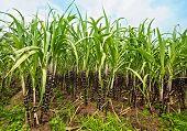 Постер, плакат: Плантации сахарного тростника Провинция Кханьхоа Вьетнам