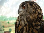 Bubo Bubo - Eurasian Eagle Owl, European  Eagle Owl, Close Up poster