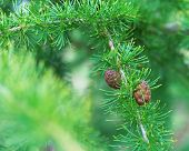 Two Cones Of Fir On A Branch Against A Background Of Blurred Green Needles. New Year Greeting Card.  poster