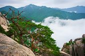 Korean pines against cloudy seorak mountains at the Seorak-san National Park, South korea