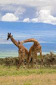 Young adult male African giraffes neck wrestling to test strength on the hill  in Tanzania, East Afr poster