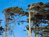 pic of windswept  - Windswept Trees on a Clear Sunny Day - JPG