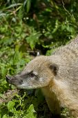 stock photo of nose ring  - South American coati or ring - JPG