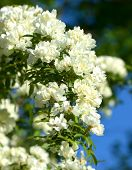 picture of climbing roses  - Climbing white roses in the garden as a vertical natural background - JPG