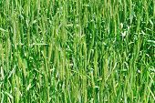 This Is A Green Wheat Field  Background