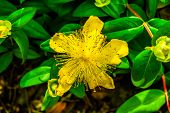 image of rose sharon  - Yellow Rose of Sharon flower  - JPG
