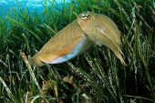 picture of cuttlefish  - Cuttlefish in Mediterranean Sea - JPG