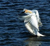 foto of trumpeter swan  - A Trumpeter Swan stretches on Prescott Bay, Wisconsin