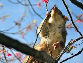 pic of possum  - a photo of a possum that is playing on a tree - JPG