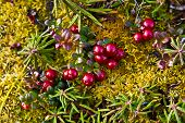 image of chukotka  - Ripe red bilberry moss tundra in Chukotka - JPG