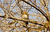stock photo of brown thrush  - Song Thrush on a branch of a tree in the garden - JPG