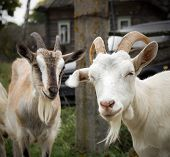 stock photo of dairy cattle  - White and brown rustic goat - JPG
