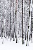 stock photo of cold-weather  - Winter landscape with snow covered beech trees - JPG