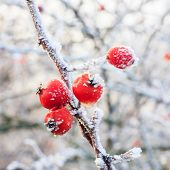 stock photo of rowan berry  - Winter background red berries on the frozen branches covered with hoarfrost - JPG