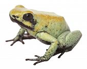 stock photo of poison arrow frog  - Poison arrow frog Phyllobates terribilis from Colombia a very poisonous and toxic animal - JPG