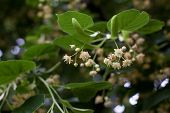 picture of linden-tree  - Blooming linden - JPG