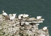 pic of gannet  - Flock of nesting wild Northern Gannets morus bassanus on cliff headland of english coastline - JPG