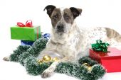 foto of dog christmas  - Adult dog lying among Christmas decorations on white background - JPG