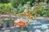 pic of cannonball-flower  - Canonball flower or Couroupita guianensis flower blooming on tree tree of buddha - JPG