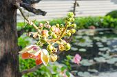 foto of cannonball-flower  - Canonball flower or Couroupita guianensis flower blooming on tree tree of buddha