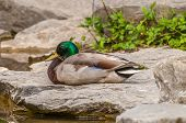 picture of male mallard  - Male Mallard Duck sitting on a rock next to a pond - JPG