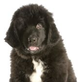image of newfoundland puppy  - twelve week old newfoundland puppy on white background - JPG