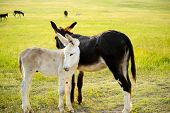 stock photo of burro  - Two Burros in a field at Custer State Park South Dakota - JPG
